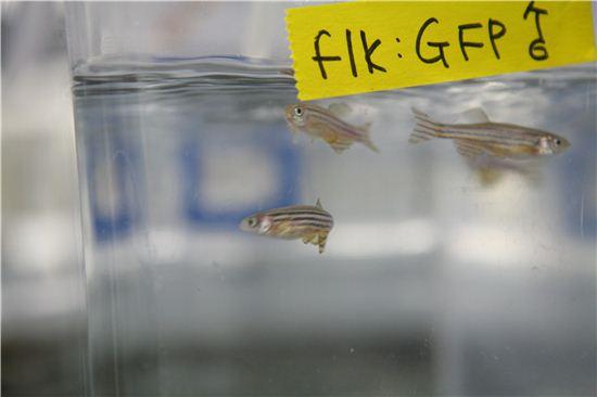 ▲실험 물고기로 불리는 제브라 피쉬.[사진제공=한국한의약연구원]