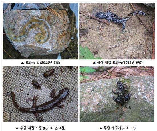 도롱뇽·무당 개구리가 서울 도심에? - 아시아경제