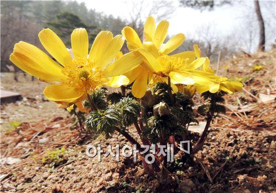 함평자연생태공원 봄의 전령사 '복수초'만개 - 아시아경제