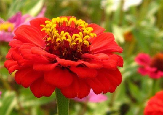 백일 동안 지는 꽃, 백일홍