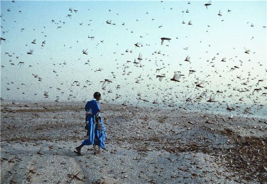메뚜기떼는 여전히 아프리카 등 여러 나라에서 심각한 기근을 일으킨다. 고대에는 왕조를 붕괴시키는 대재앙 중 하나였다.(사진=유엔환경계획(UNEP) 홈페이지)