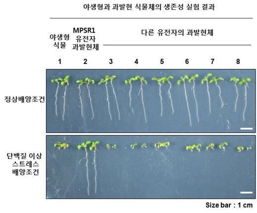 ▲MPSR1 유전자를 과발현하는 형질전환 식물은 단백질 이상 스트레스에서 강한 생존성을 나타냈다.[사진제공=한국연구재단]
