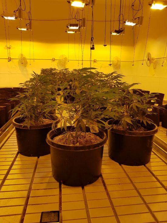 뉴프라이드 미국 대마 재배사업장 내부 모습.(사진제공=뉴프라이드)