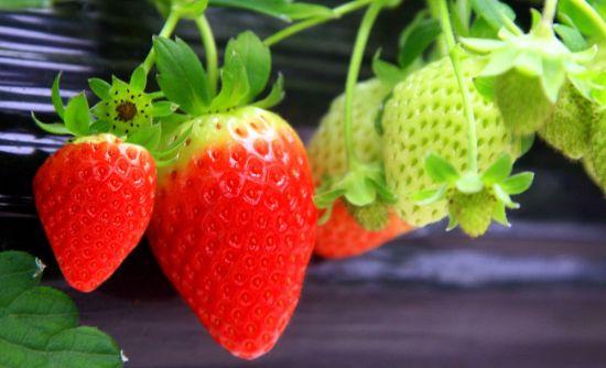 고령은 딸기가 유명하다