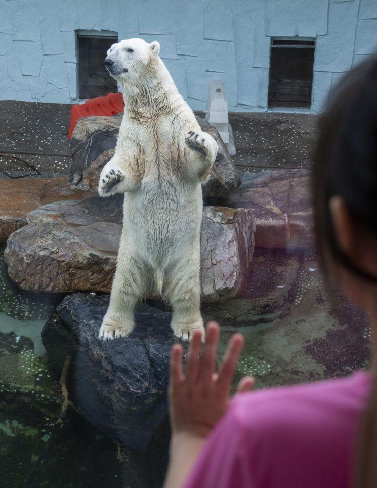 국내 유일 북극곰 '통키' 연말 영국으로 이사 간다