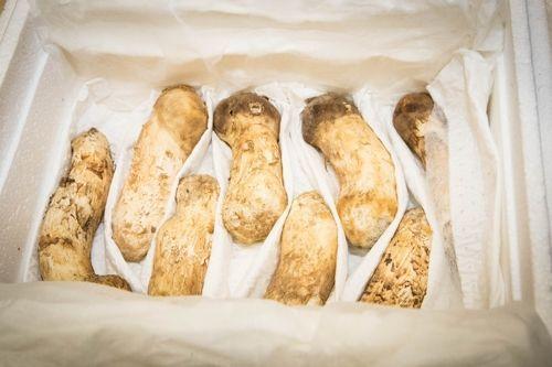 청와대가 공개한 송이버섯. 이 송이버섯은 지난 20일 오전 화물 수송기편에 실려 성남 서울공항에 도착했다.