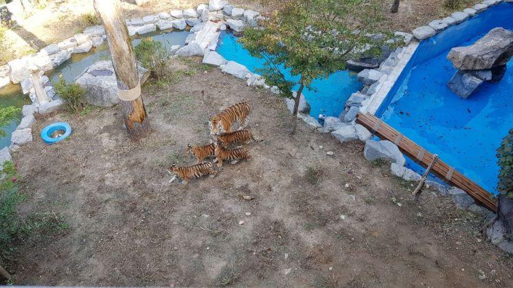 아기 호랑이들이 서울대공원 방사장 안에서 펜자와 함께 있다. (사진=서울대공원 제공)