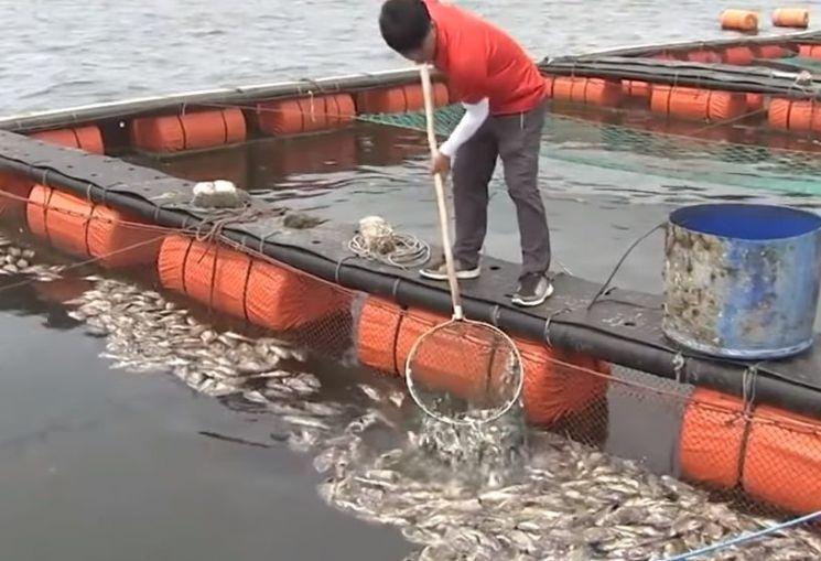 수온이 올라가면 물고기의 대사가 활발해지지만 질병에는 취약해집니다. [사진=유튜브 화면캡처]