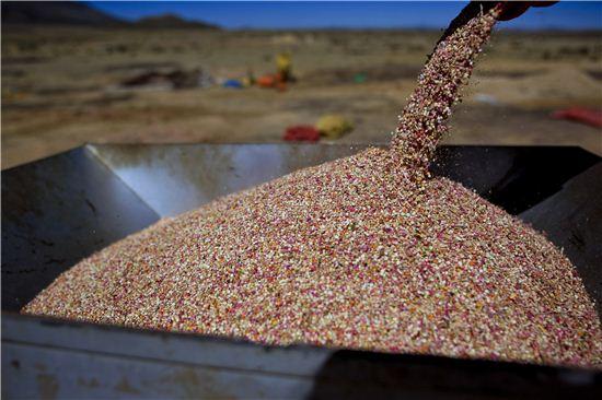 볼리비아에서 수확된 퀴노아의 모습. 세계보건기구(WHO)는 불에 익힌 퀴노아에서 섭취할 수 있는 단백질 등의 영양가치가 우유에 버금간다고 평했다. (사진=블룸버그통신 제공)