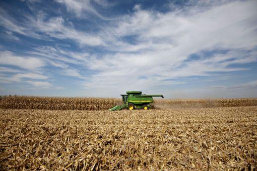 미국 옥수수 농장에서 옥수수를 수확하는 전경