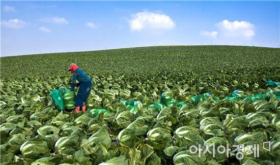 배추·무 가격 폭락…계속되는 악순환에 농가 '눈물'