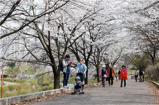 성남 중앙공원 벚꽃길