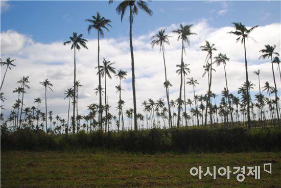 ▲통가에서는 코코넛과 함께 얌, 타로 등을 재배한다.