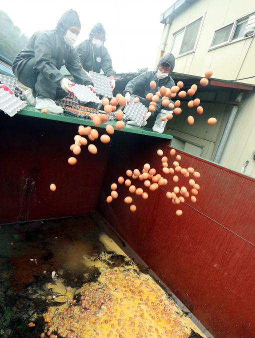 쏟아지는 살충제 검출 계란. 경기도 광주시 곤지암읍의 한 산란계 농가에서 방역 관계자들이 부적합 판정을 받은 계란을 폐기하고 있다. 사진=연합뉴스