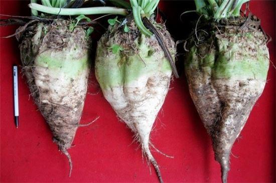 사탕수수와 함께 설탕의 주 원료로 쓰이는 사탕무의 모습. 뿌리부분을 정제하며 나머지 부분은 가축 사료 등으로 주로 쓰인다.(사진=농촌진흥청)