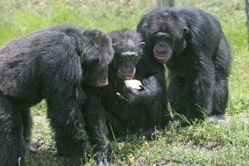 침팬지의 사회 집단 크기는 평균 54마리다.