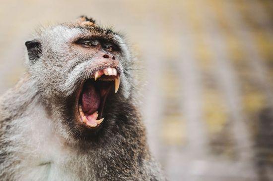 '신'에서 골칫거리로…인도서 사람 죽인 원숭이떼(영상)