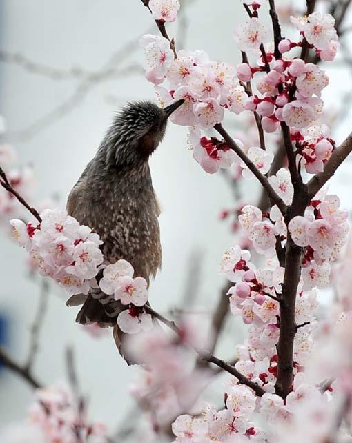 ▲ 벚꽃 개화 시기.