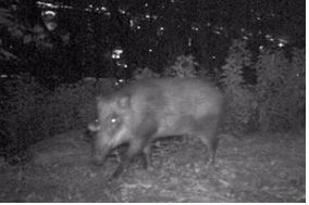 멧돼지.(자료사진)