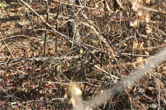 노랑배진박새