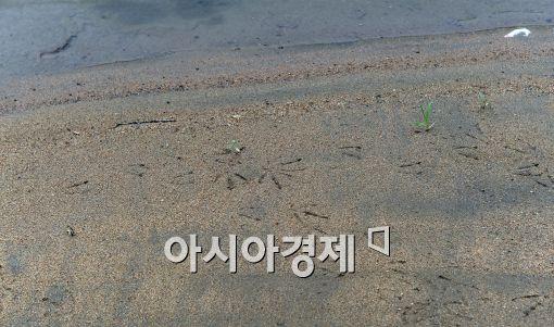[포토]밤섬 모래밭은 새들의 놀이터