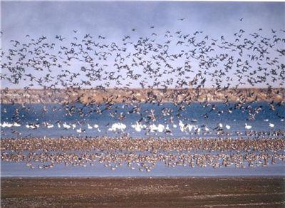 금강하구와 유부도뿐만이 아니다. 인근 대표적 철새도래지인 서산 천수만을 찾는 철새도 급감하고 있다. 수만마리가 찾아오던 가창오리는 올해 3000여마리 수준으로 줄어들었다. 역시 개발사업으로 인한 환경변화와 먹이 감소가 원인이다.