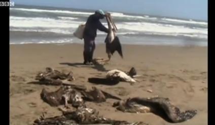 페루에서 펠리컨 등 조류 1000여마리가 떼죽음 당해 충격을 주고 있다.(출처 : BBC 방송 캡쳐)