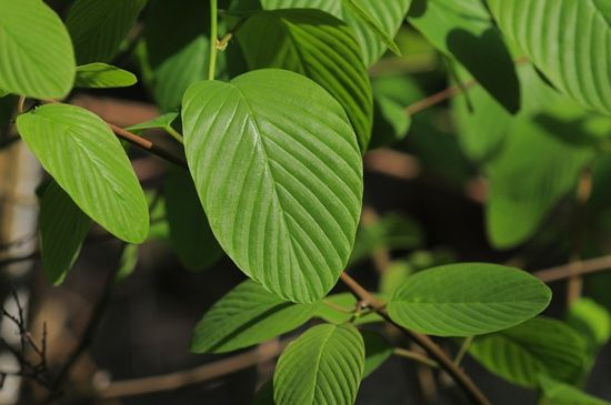 우리나라 충남 안면도에서만 자생하는 갈매나무과의 '먹넌출'. 충남산림환경연구소가 잎에서 미백효과 큰 '루시놀'를 뽑아내는데 성공했다.