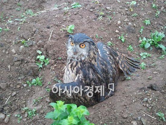 14일 인천 계양산에서 발견된 천연기념물 수리부엉이/사진 출처=인천녹색연합 페이스북