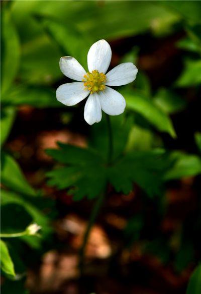 홀아비바람꽃