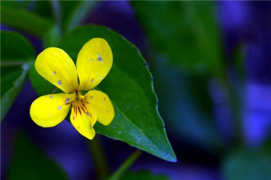 노랑제비꽃