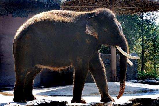 동물원의 코끼리. 사진은 기사의 특정 표현과 무관함.