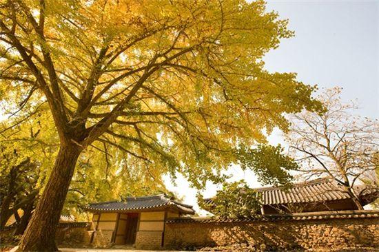 충남 보령시 청라면 신경섭고택 앞 은행나무. 고택과 나무가 천년을 버텨온 듯 하다.