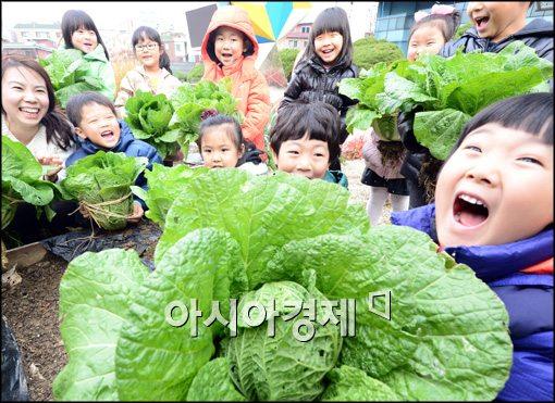 [포토]배추수확 하는 어린이들