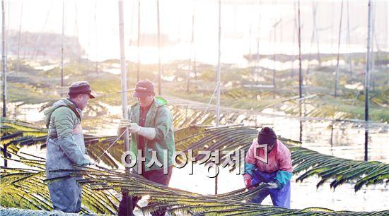 전남 강진군 마량면의 한 어촌 매생이 양식장에서 주민들이 바닷물이 빠진 갯벌에 들어가 매생이를 수확하고 있다.