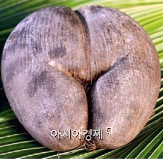 여성의 엉덩이 닮은 열매 코코드메르