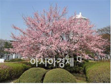 서울 남산 중앙분수대 인근 와룡매(홍매화). 사진제공=서울시
