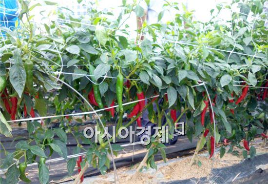 [수상한 채솟값]이번 달 고추ㆍ토마토 값 오릅니다(종합)