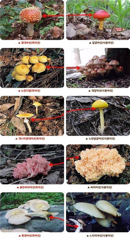 ▲독버섯과 식용버섯 비교(출처:식약처)
