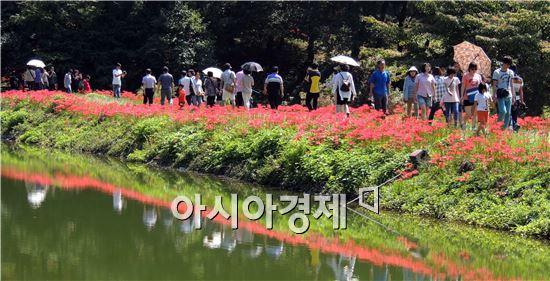 [포토]꽃무릇 절정 ~관광객 초가을 정취 만끽