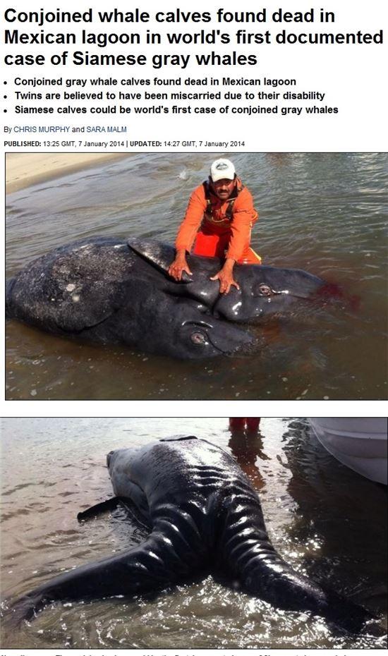 샴쌍둥이 귀신고래(출처:데일리메일)