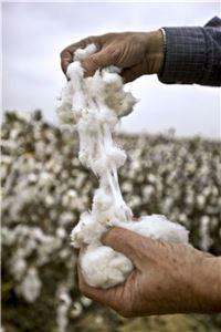 중국에서 생산되는 면화의 70%가 GMO다. 사진=블룸버그