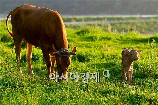 """고흥한우, 축산물등급 판정 전국 """"최고"""""""