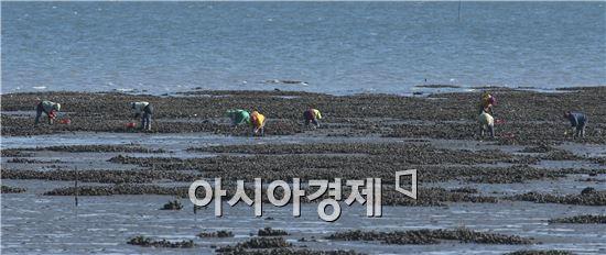 [포토]자연산 석화(石花)따는 아낙네들