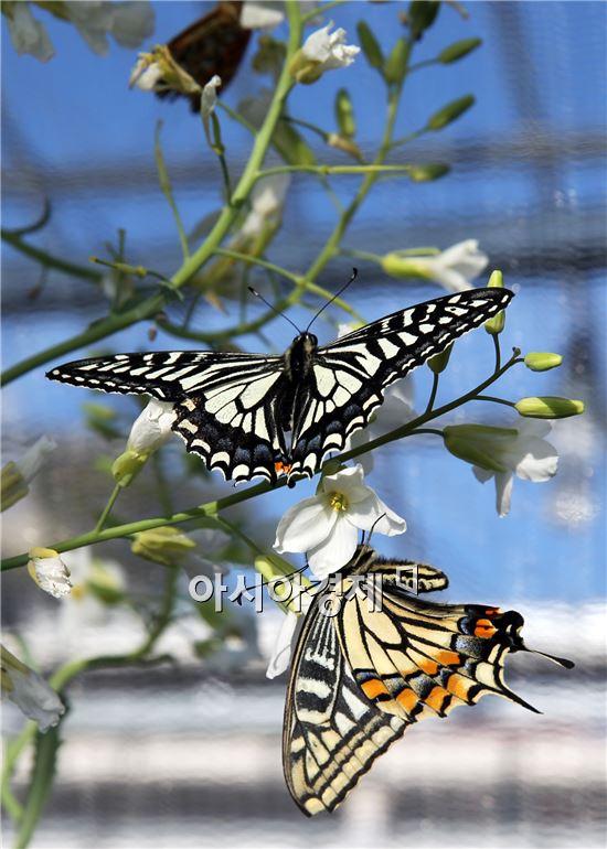[포토]봄소식 전하는 나비 군무