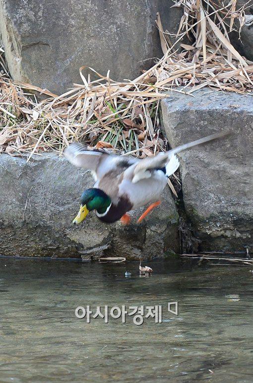 [포토]날개짓하는 청둥오리