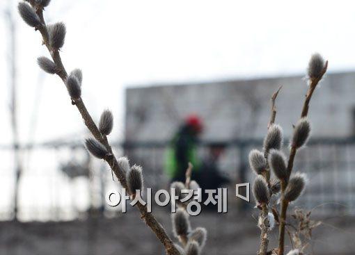 [포토]고개 내민 버들개지