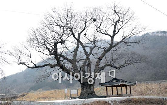 장성 단전리 느티나무, 복제·유전자 보존 작업 착수