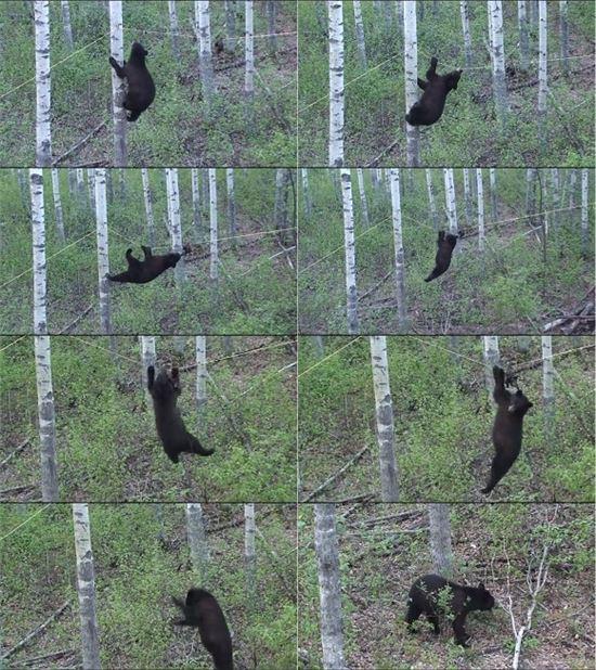▲로프 타는 흑곰 포착.(출처: 유튜브)