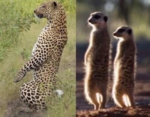 ▲ 표범의 혼자 있을 때 모습이 미어캣과 비슷하다.(출처: 온라인 커뮤니티)